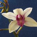 Cymbidium-cream-with-red-lip-2012-11-03-IMG 2882