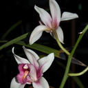 Cymbidium-cream-with-red-lip-cv-Point-Conception-2012-12-19-IMG 6990