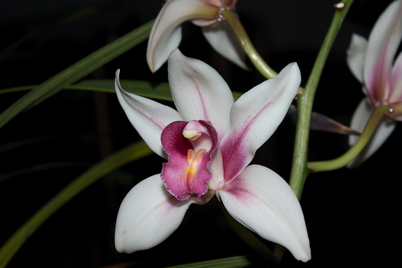 Cymbidium-cream-with-red-lip-cv-Point-Conception-2012-12-19-IMG 6993