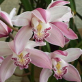 Cymbidium-cv-Robert-Chrisman-pink-flower-2010-04-30-IMG 4901