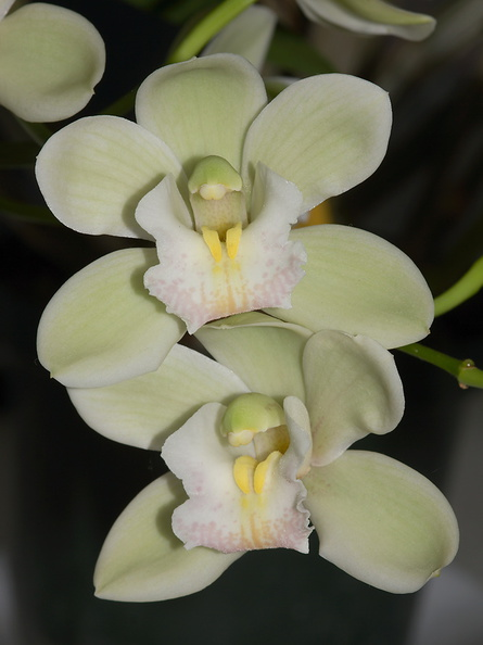 Cymbidium-small-white-and-greenish-Sleeping-Angel-2012-06-10-IMG_5339.jpg