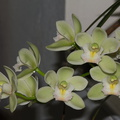 Cymbidium-small-white-and-greenish-Sleeping-Angel-2012-06-10-IMG 5345