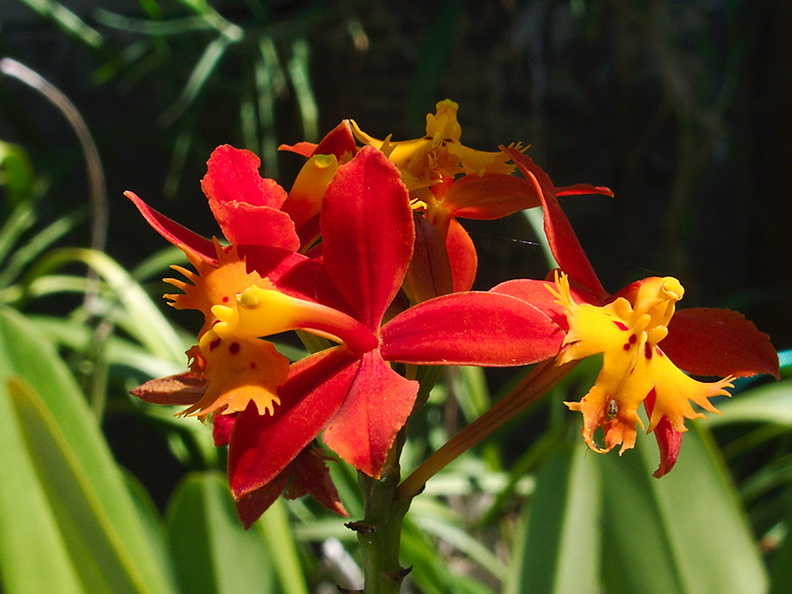 Epidendrum-burtonii-orange-red-2012-08-30-IMG_2735.jpg