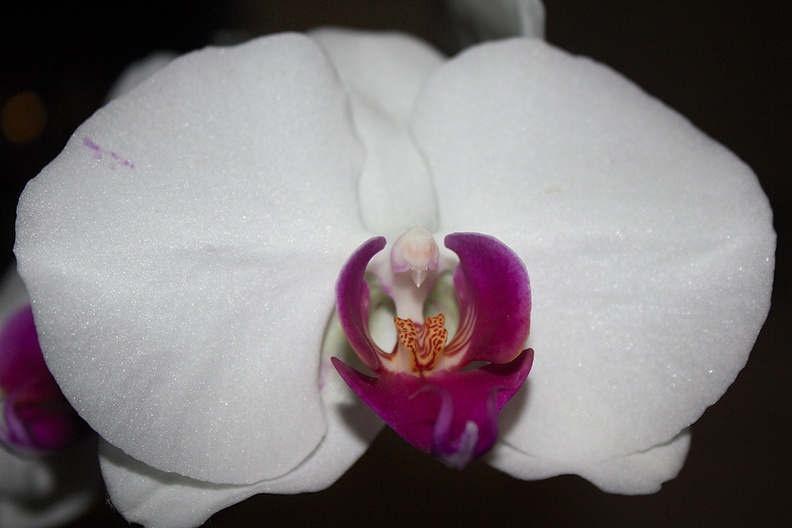 Phalaenopsis-white-purple-lip-2012-06-26-IMG 5438-2