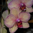 Phalaenopsis-yellowish-red-veined-2012-06-26-IMG 5438-2
