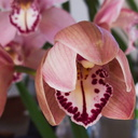 pink-cymbidium-December-bloom-2011-12-24-IMG 0243