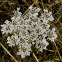Corvallis-hike-Queen-Annes-lace-2017-08-26-IMG 8648