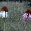 Echinacea-neglecta-forms-white-pink
