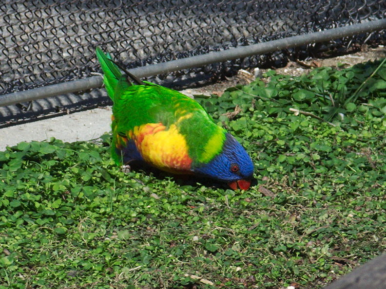 Edwards-rainbow-lorikeet-LA_Aquarium-2011-11-05-IMG_0018.jpg