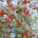 Ilex berries ice1