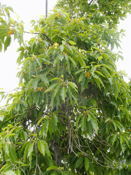 Michelia-champaca-joy-perfume-tree-Silver-Lake-street-Los-Angeles-2015-05-25-IMG_5007.jpg