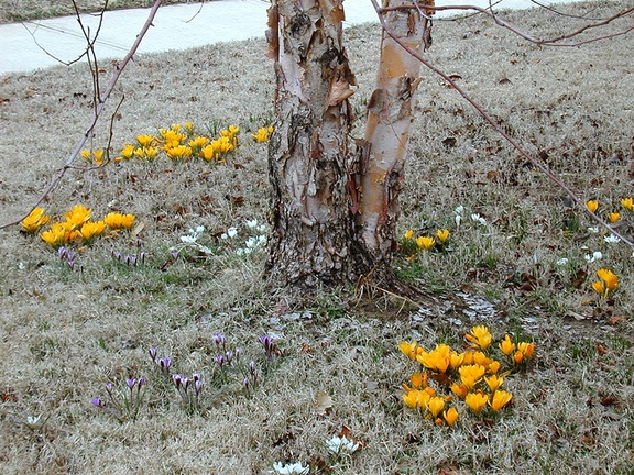 crocus early