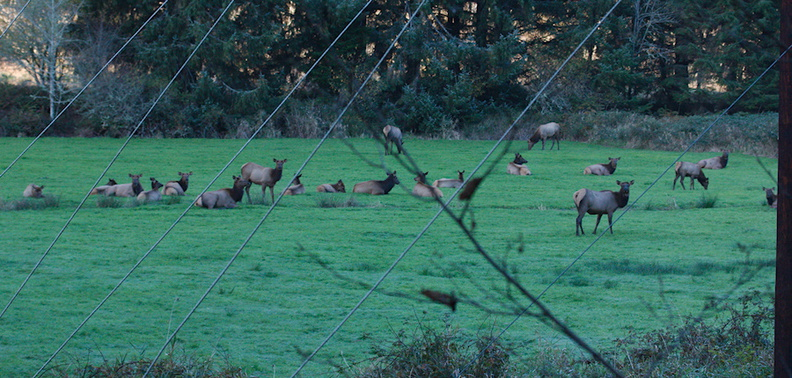 elk-herd-Oregon-2014-11-08-IMG_0275..jpg