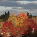 fall-colors-Corvallis-Oregon-2014-11-09-IMG 0309.