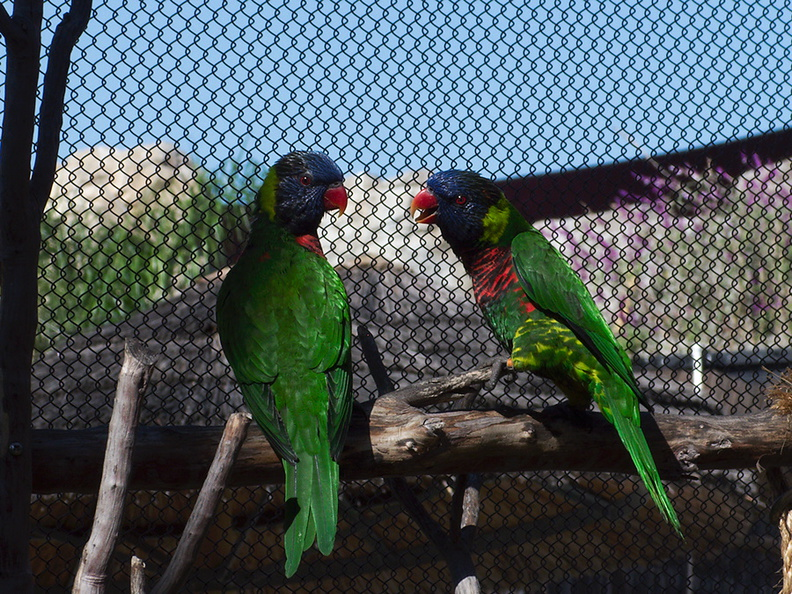 green-nape-rainbow-lorikeet-LA_Aquarium-2011-11-05-IMG_0023.jpg