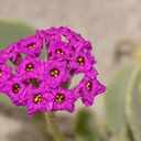 Abronia-maritima-red-sand-verbena-Ormond-Beach-Port-Hueneme-2012-05-09-IMG 4745