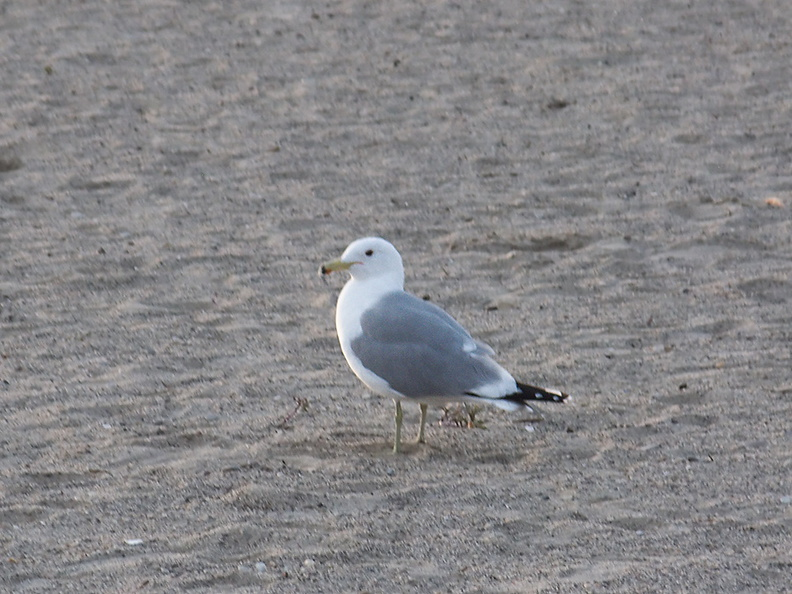 California-gull-Hueneme-Beach-2012-03-23-IMG_1490.jpg