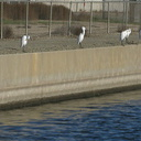 great-egrets-lined-up-on-canal-2008-12-13-IMG 1618