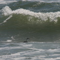 grebe-fishing-at-Ormond-Beach-2004
