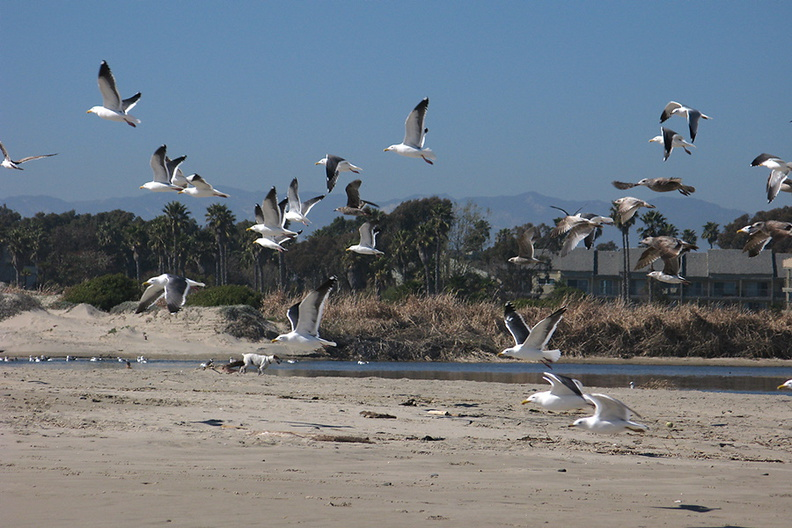 gulls-flying-Ormond-Beach-2012-03-21-IMG_1455.jpg