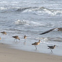 marbled-godwits-willet-flying-gull-ormond-2008-11-04-IMG 1504