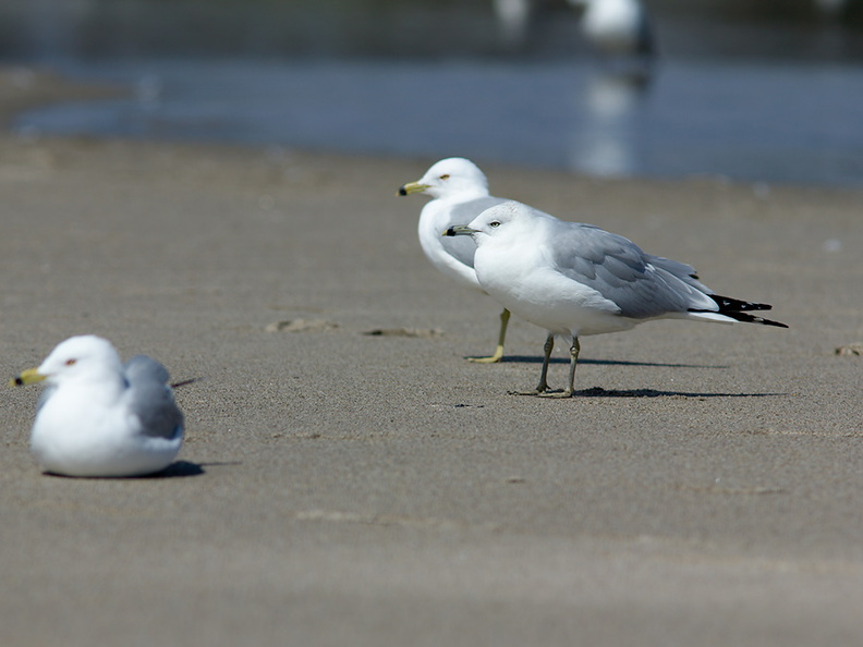ring-billed-gull-Larus-delawarensis-Ormond-Beach-2012-03-13-IMG_4295.jpg