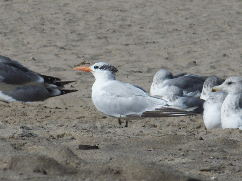 royal-tern-among-gulls-Ormond-Beach-2012-09-18-IMG_2776.jpg
