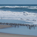 sanderlings-Calidris-alba-in-a-huddle-Ormond-Beach-2012-03-13-IMG 1050