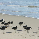 shorebirds-img 5501-willets-good-sm