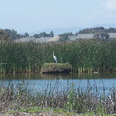 snowy-egret-Egretta-thula-on-nest-in-tidal-lagoon-Port-Hueneme-beach-2012-08-14-IMG 2649