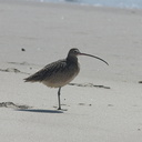 whimbrel-Numenius-phaeopus-Ormond-Beach-2012-03-13-IMG 4297