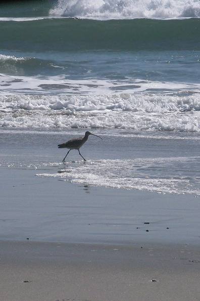 whimbrel-Numenius-phaeopus-Ormond-Beach-2012-03-21-IMG_1416.jpg