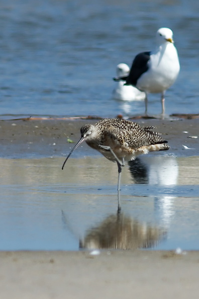 whimbrel-Numenius-phaeopus-at-freshwater-outlet-Ormond-Beach-2012-03-13-IMG_4291.jpg