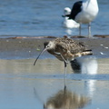 whimbrel-Numenius-phaeopus-at-freshwater-outlet-Ormond-Beach-2012-03-13-IMG 4291