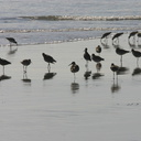 willets-resting-1