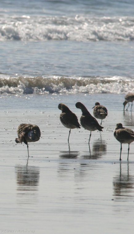 willets-resting-2