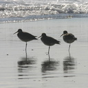 willets-resting-3