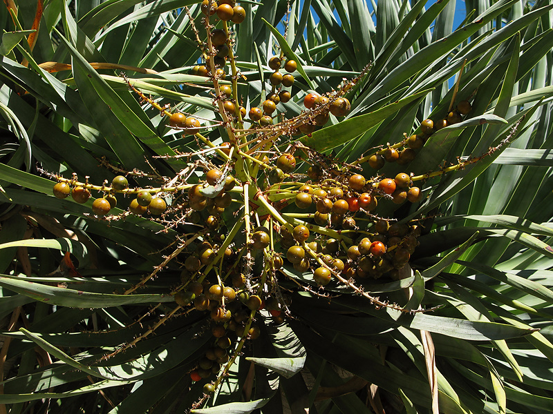 dracaena-fruits-beckman-2008-11-07-IMG 1546
