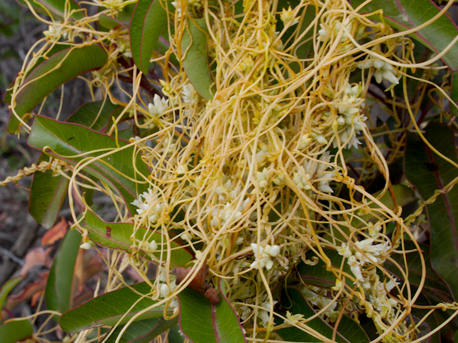 Cuscuta-californica-dodder-flowering-Angel-Vista-trail-2015-05-18-IMG 4968