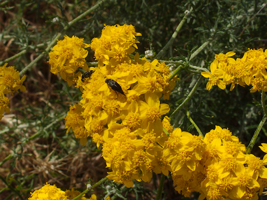 Eriophyllum-confertflorum-golden-yarrow-with-pollinators-Angel-Vista-trail-2015-05-04-IMG 4923