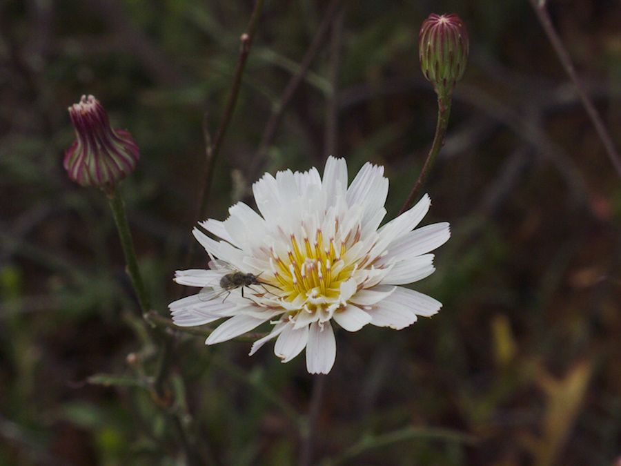 Malacothrix-saxatilis-cliff-aster-skeleton-weed-Angel-Vista-trail-2015-05-04-IMG 4910
