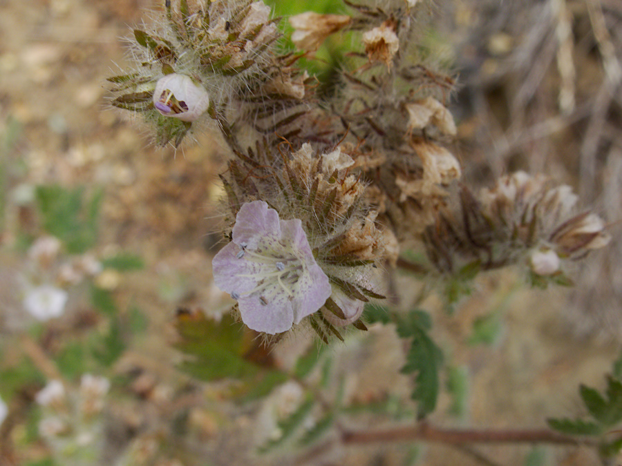 Phacelia-cicutaria-caterpillar-phacelia-Angel-Vista-trail-2015-05-04-IMG 4894