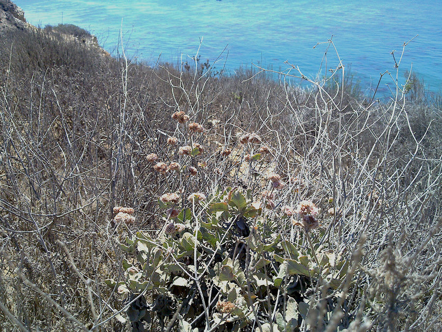 Eriogonum-cinereum-ashy-leaved-buckwheat-blooming-in-drought-Leo-Carrillo--20130805 005 1