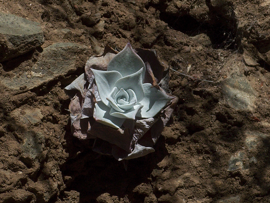 Dudleya-pulverulenta-chalk-dudleya-on-cliff-face-Serrano-Canyon-2011-10-29-IMG 9954