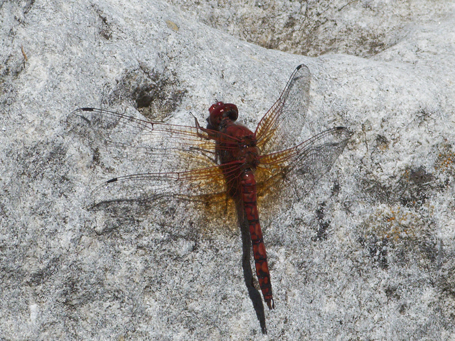 dragonfly-copper-winged-in-streambed-Serrano-Canyon-2011-05-15-IMG 7909