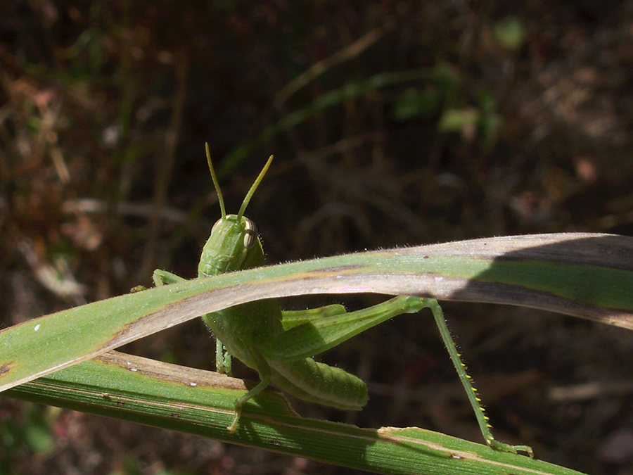 green-grasshopper-Serrano-Canyon-2012-09-09-IMG 2761