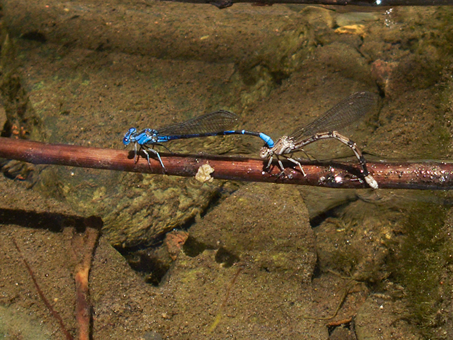 blue-eyed-darner-Aeshna-multicolor-Solstice-Canyon-2011-05-11-IMG 7822