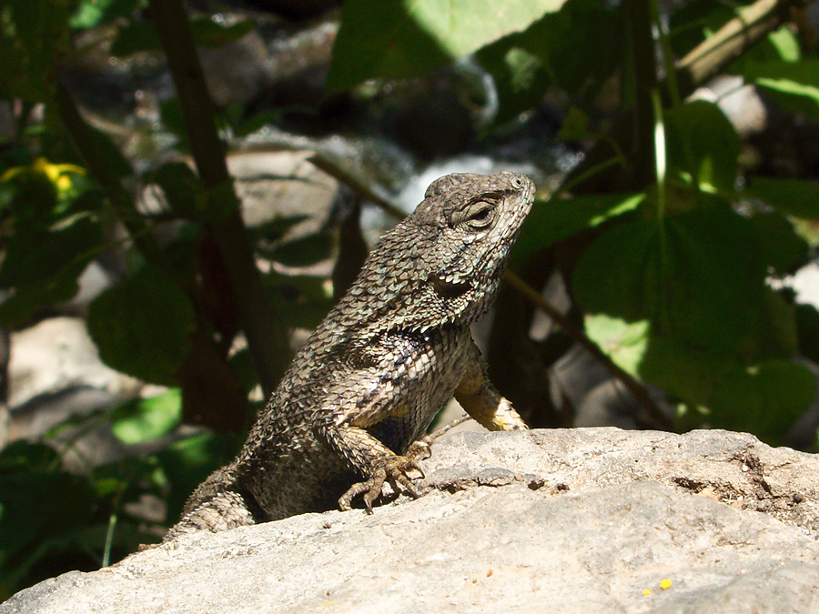 western-fence-lizard-Sceloporus-occidentalis-Solstice-Canyon-2011-05-11-IMG 7804