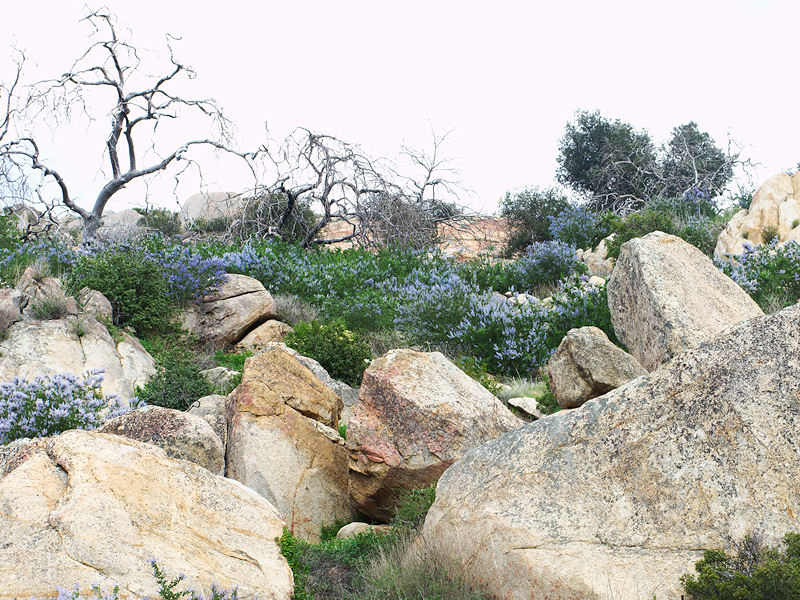 Ceanothus-sp-covering-rocky-slope-blue-flowered-Hwy78-nr-San-Felipe-Rd-Anza-Borrego-2010-03-30-IMG 4355