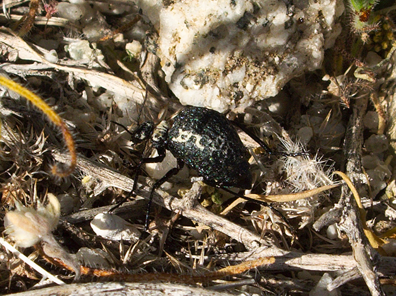 beetle-with-pitted-bw-elytra-Mountain-Palm-Springs-Anza-Borrego-2010-03-30-IMG 4226